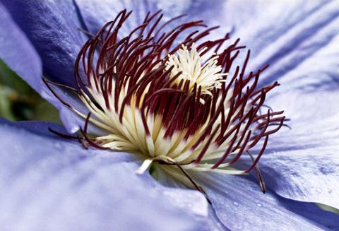 passion flower benefits